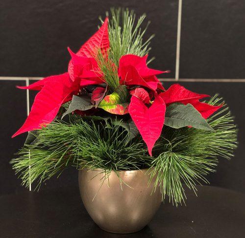 Weihnachtsstern in Rot mit Kiefer